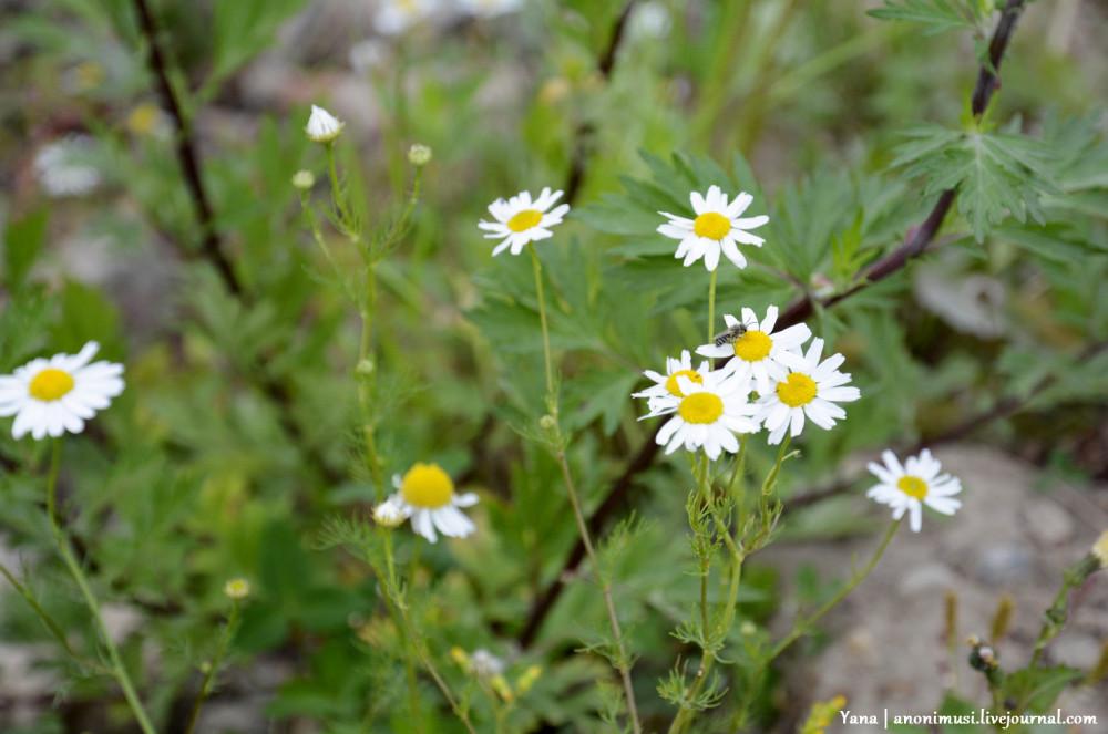 Цветы луговые. Гомель