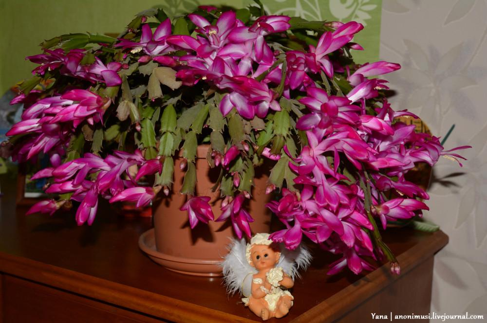 цветет шлюмбергера
