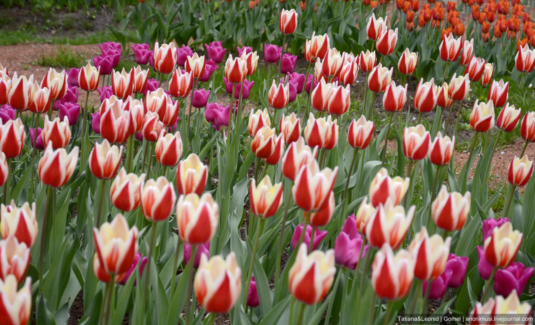 Гомельский парк в тюльпанах