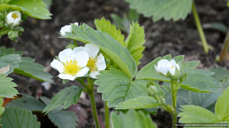 Клубника в этом году цветет хорошо, урожай должен быть хороший