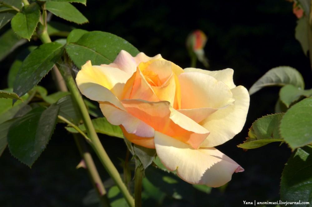 Любимая роза