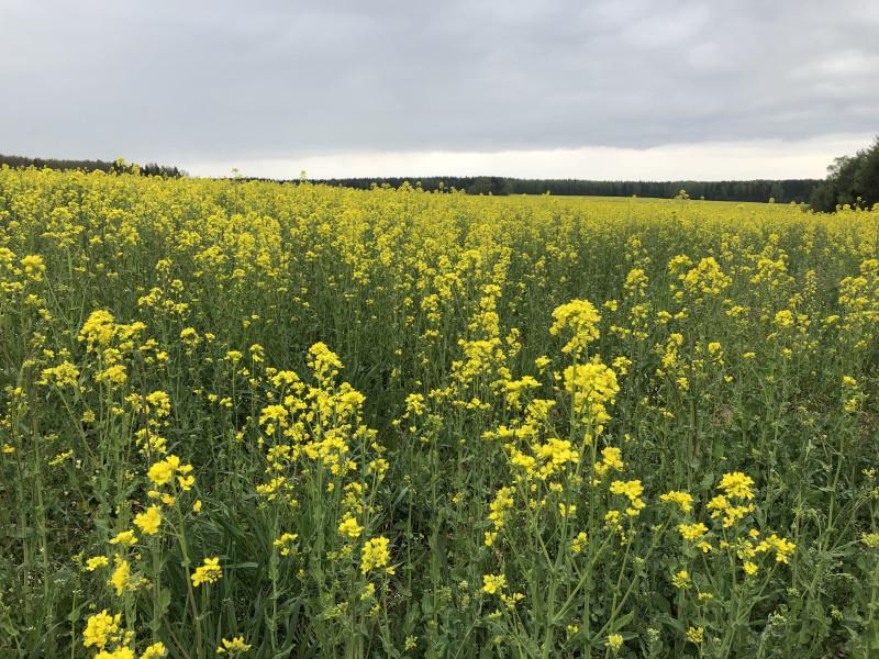 Поля цветущей горчицы в Беларуссии