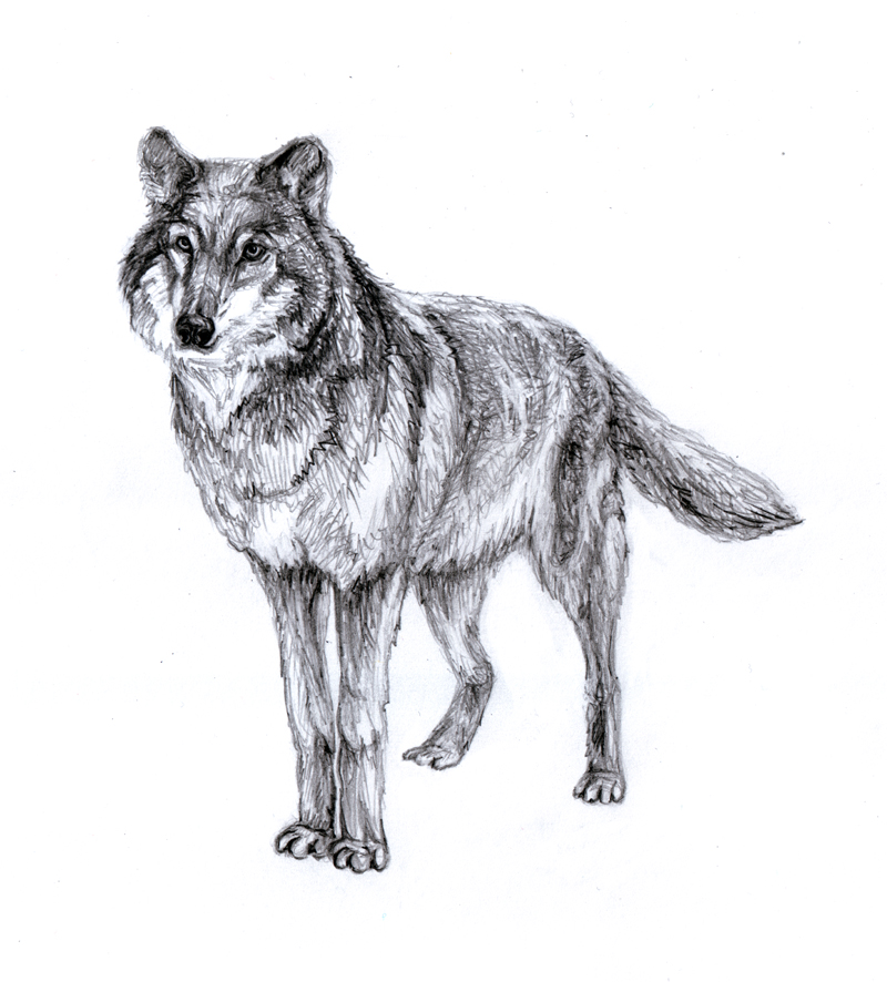 волк рисунки картинки