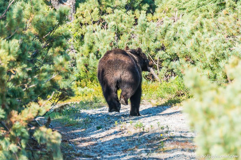 Медведь. Магадан
