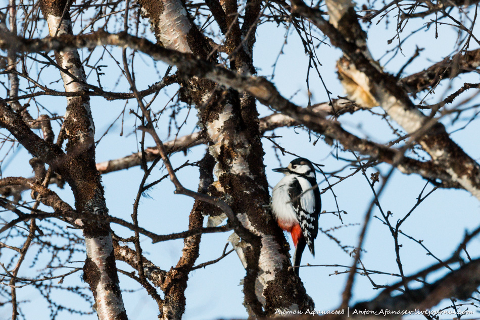 птица Большой пёстрый дятел