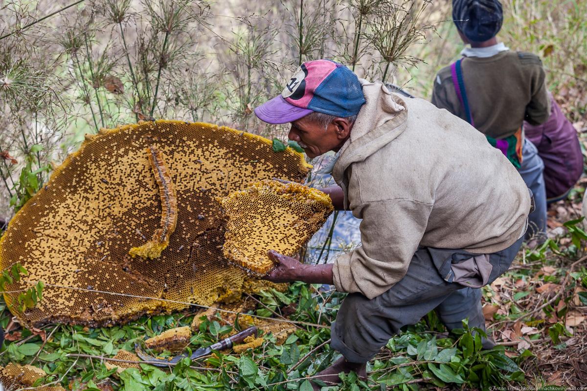 Как добывают правильный дикий мед в Непале