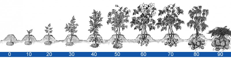 Fig. 1. The ontogenetic stages for potato plants