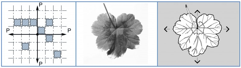 Fig. 6. Example of a symmetrical growth of geranium leaf plates (the photo made by the author)