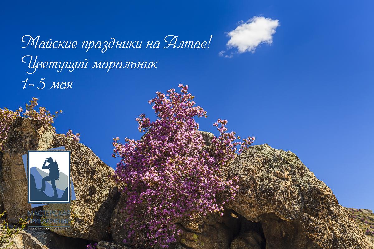 Майские праздники на Алтае! Цветущий маральник