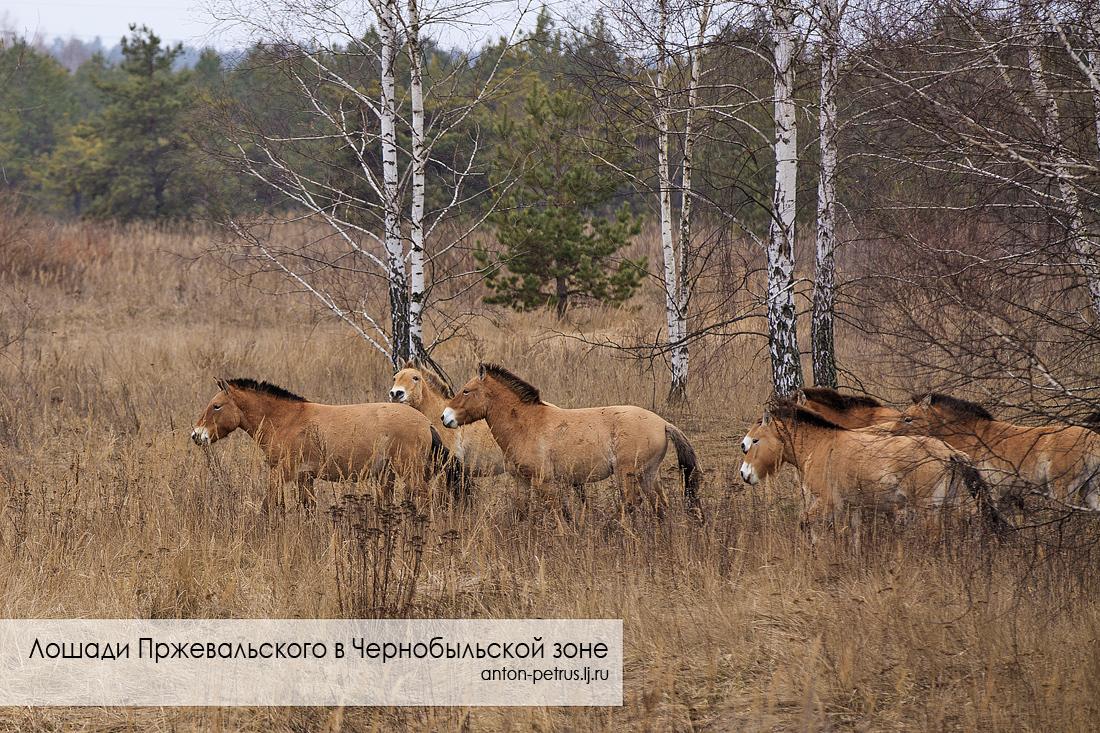 Лошади Пржевальского (1)