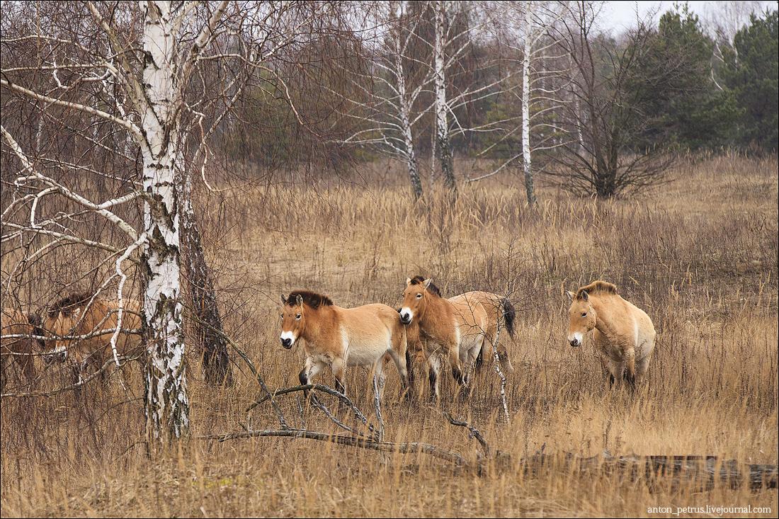 Лошади Пржевальского (2)