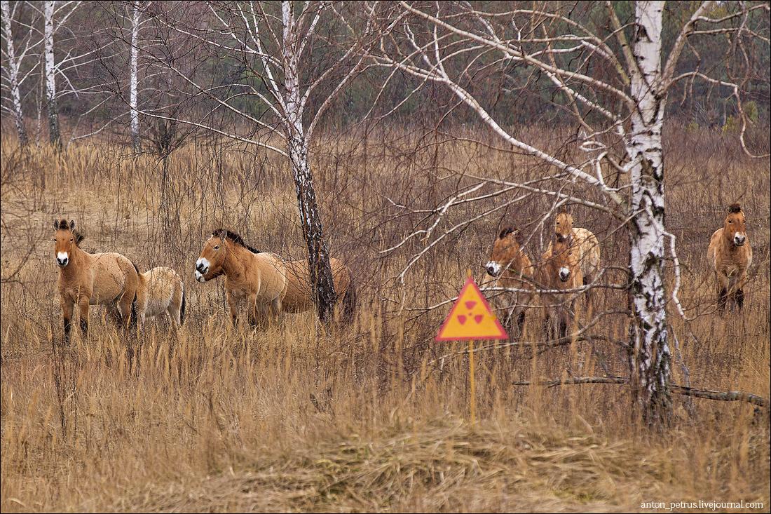 Лошади Пржевальского (3)
