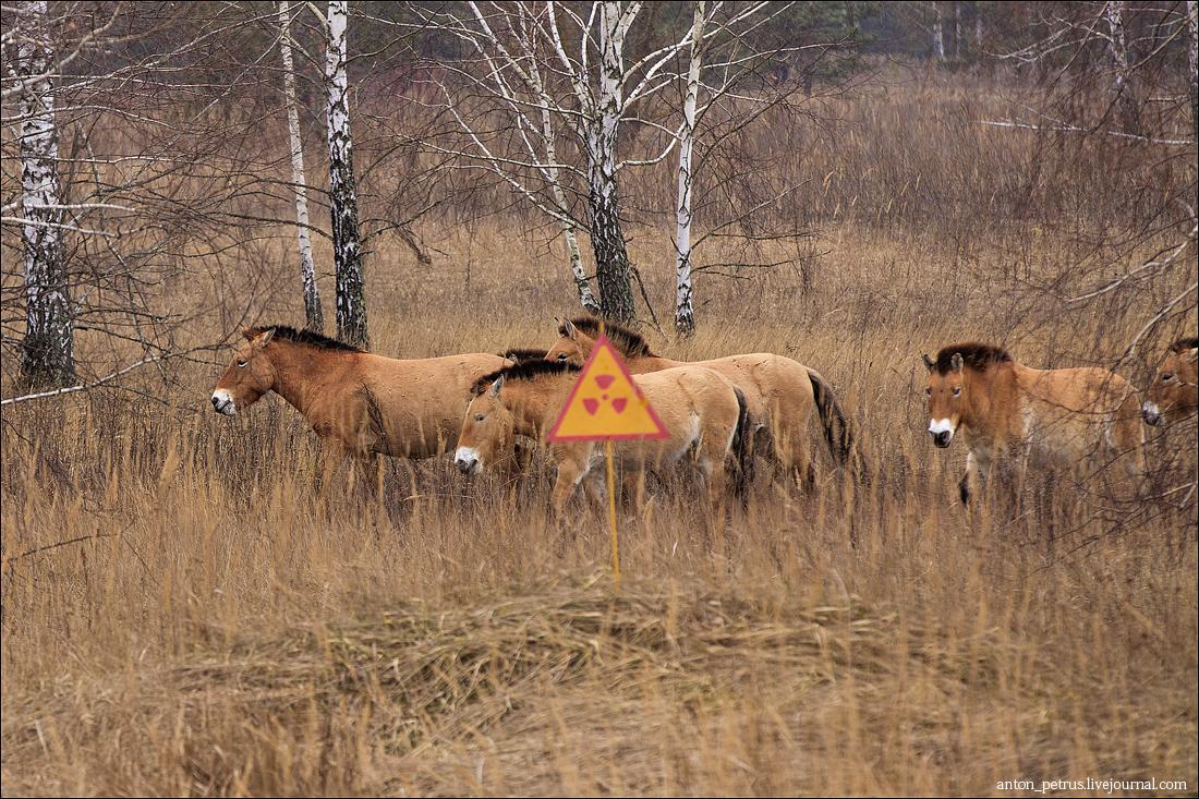 Лошади Пржевальского (4)