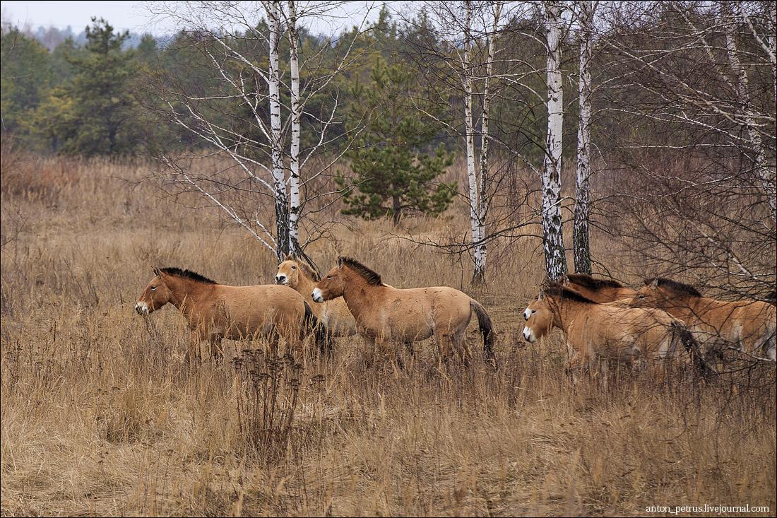 Лошади Пржевальского (5)