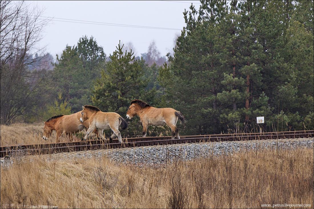 Лошади Пржевальского (6)