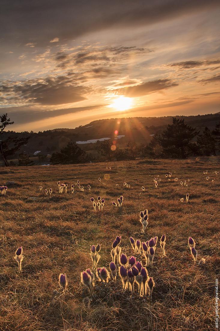 Сон-трава (3)