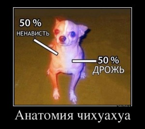 1372598848_anatomiya-chihuahua