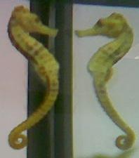 seahorse reflection