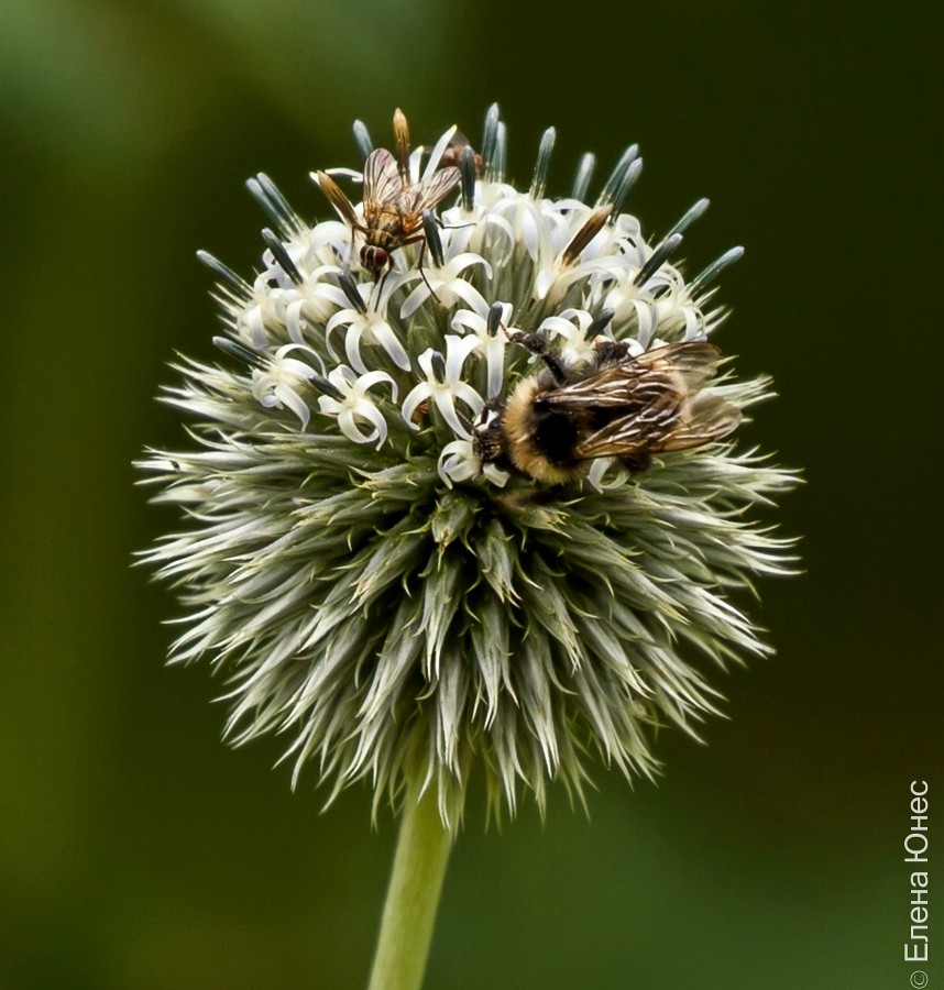 пчела (1 of 2)