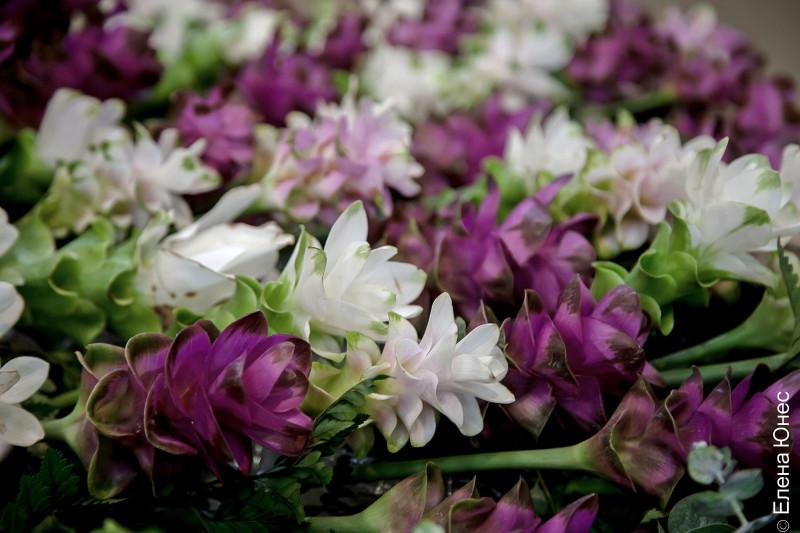 сиамский тюльпан (4 of 12)