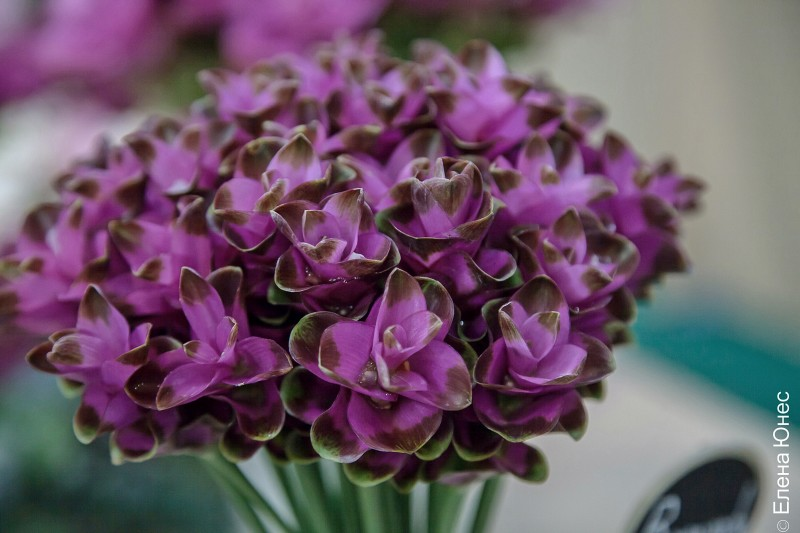 сиамский тюльпан (9 of 12)
