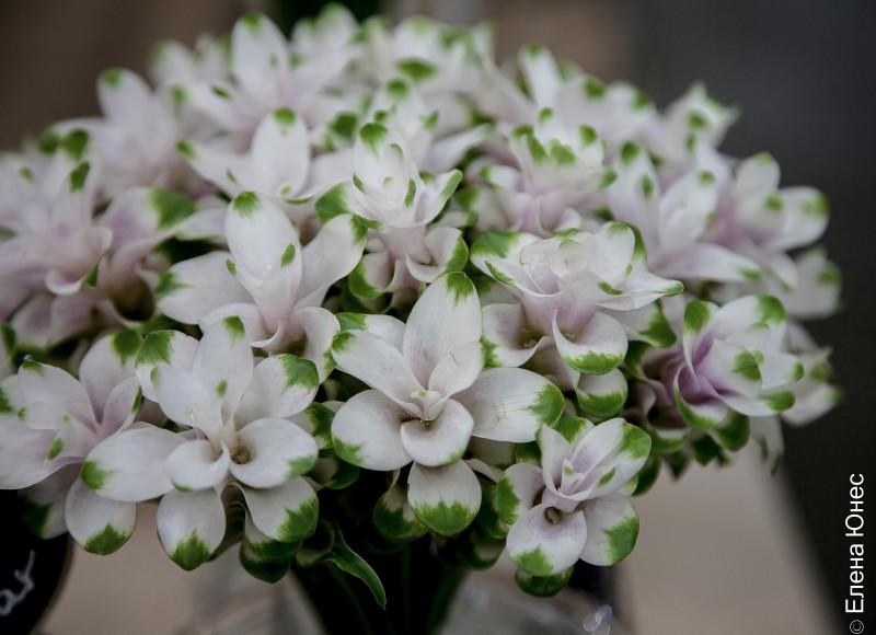 сиамский тюльпан (7 of 12)