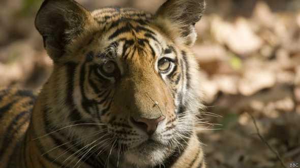 140929231136_tiger_nepal_promo_624x351_bbc