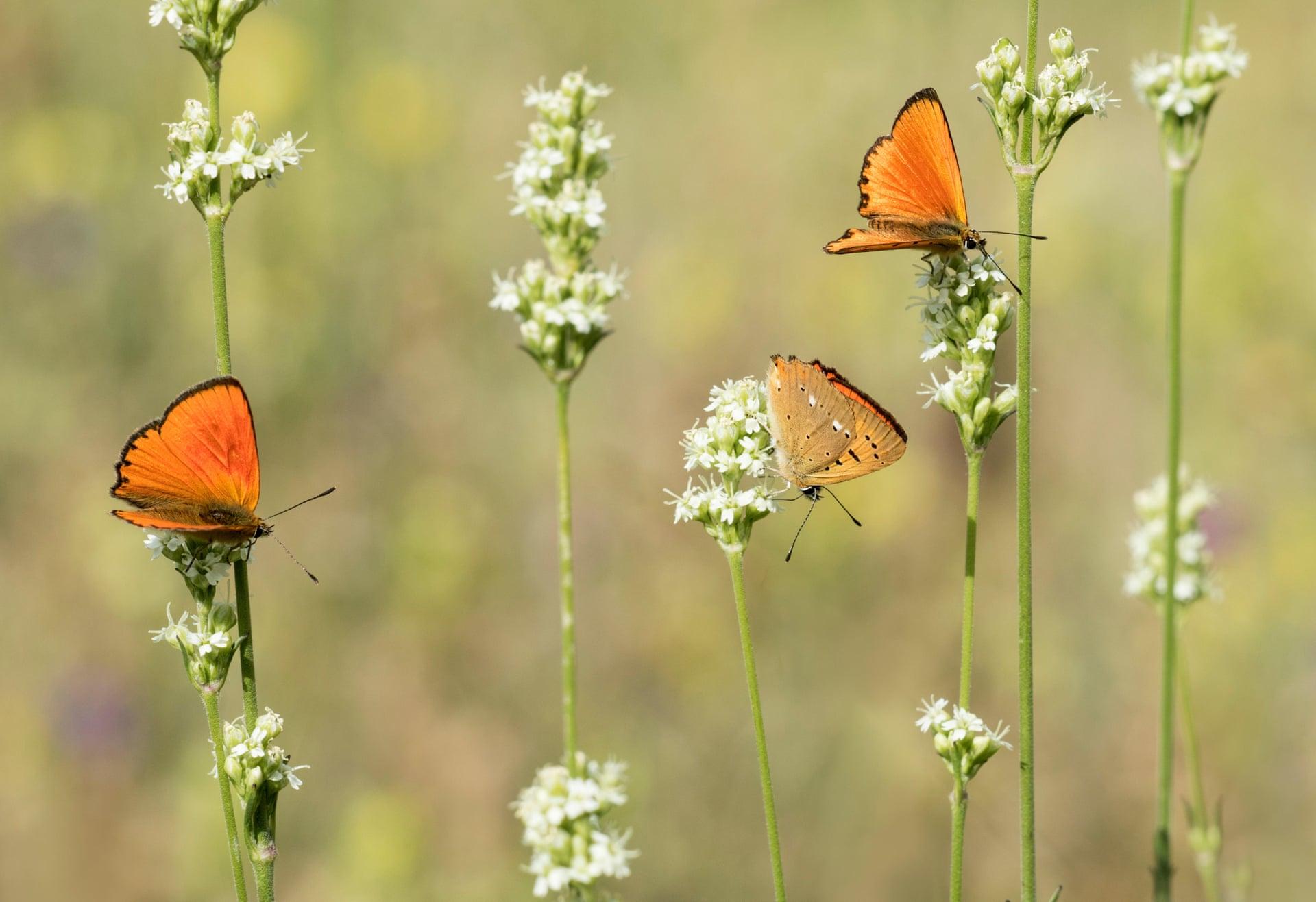 Редко встречающиеся медные бабочки. Фото: Марлен Финлейсон / Alamy Stock Photo / Alamy.