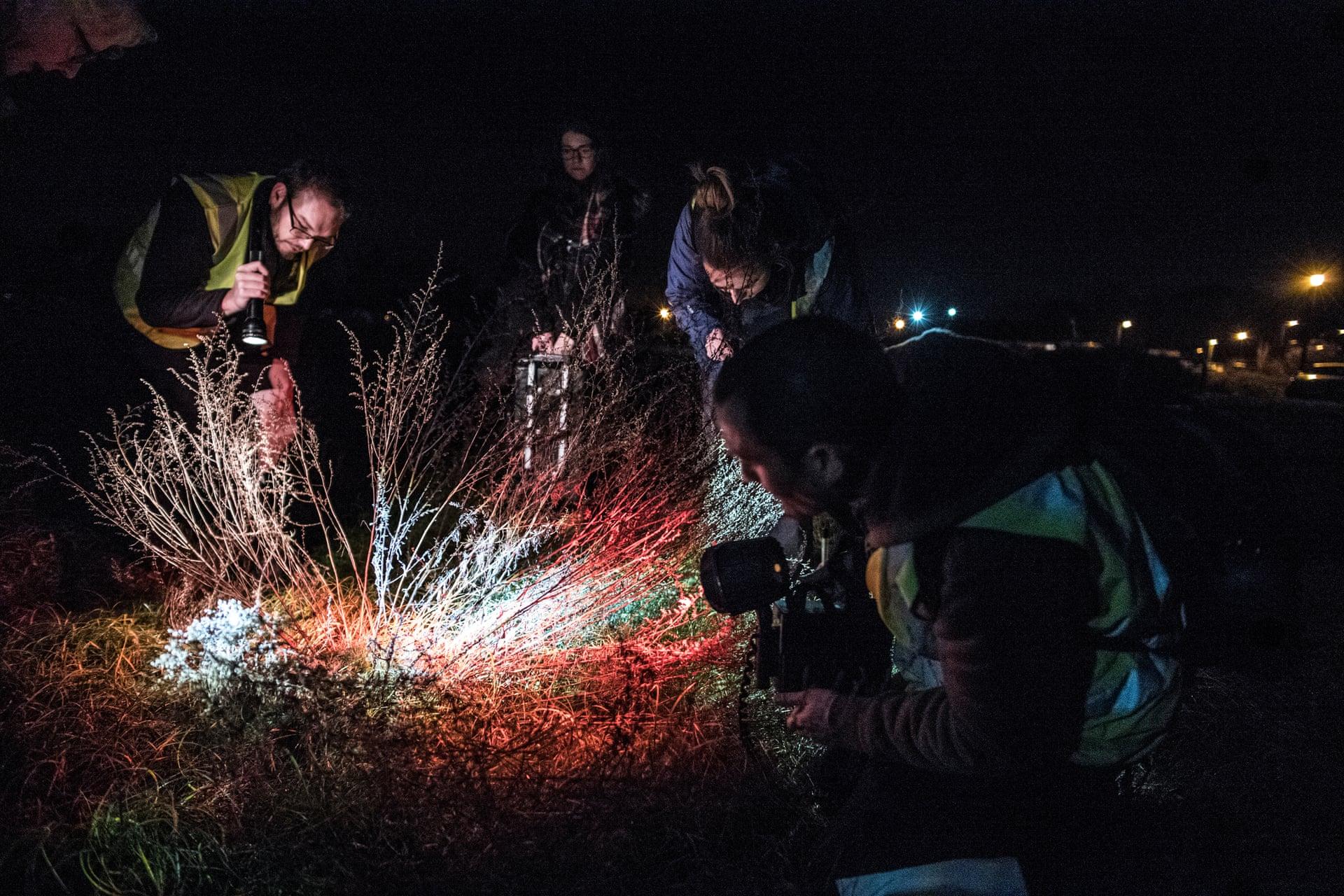 Волонтеры ищут жука по имени полынный самогонщик в Саффолке, Великобритания. Фото: Шон Смит / «Гардиан».