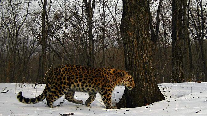 Вот этот леопард на снимке с сайта заповедника «Земля леопарда».