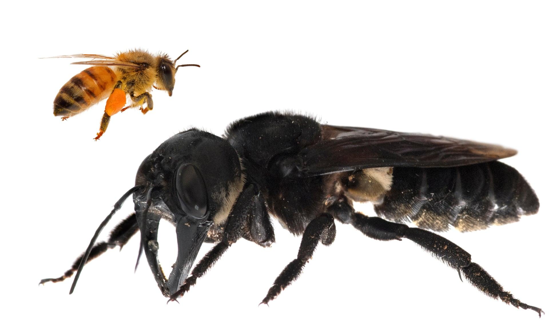 Гигантская пчела Уоллеса на переднем плане примерно в четыре раза больше европейской пчелы. Фотография: Clay Bolt