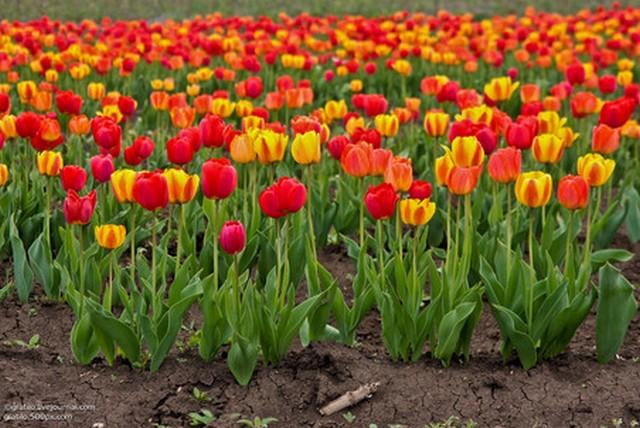 тюльпаны3