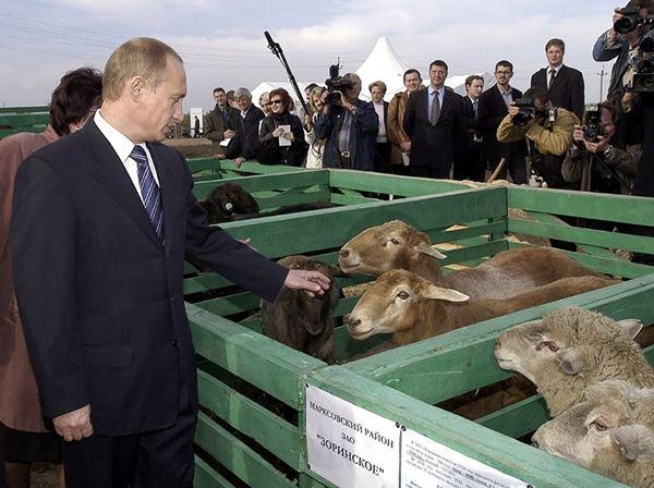 Путин и овцы