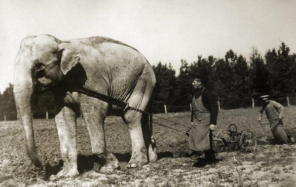 слон землепашец