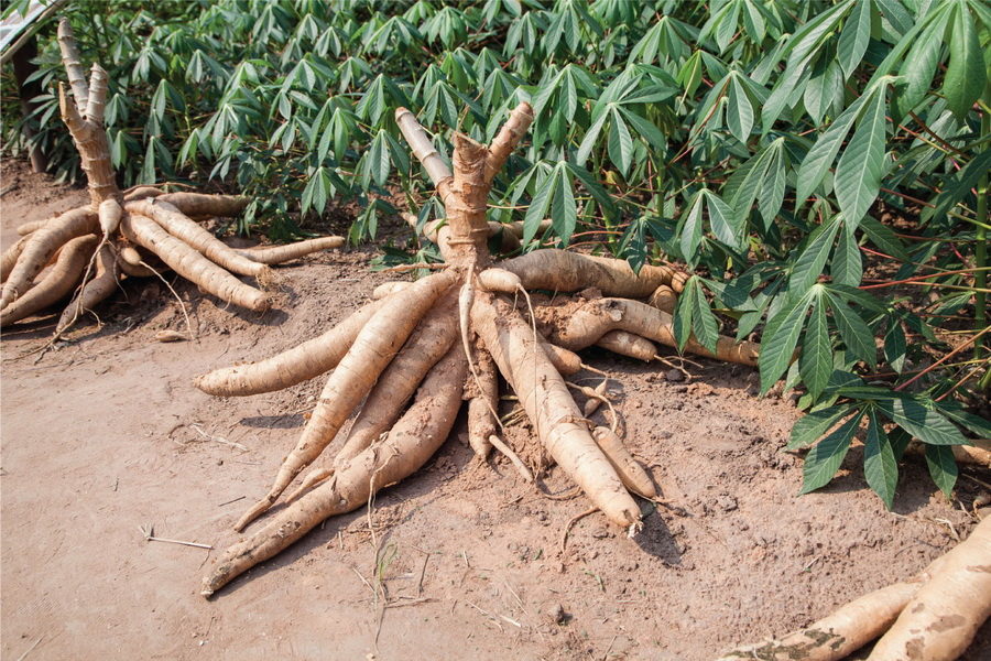 cassava paper View this term paper on cassava manihot esculenta brazil and paraguay are the places where cassava originated the other wild forms of these species are known.