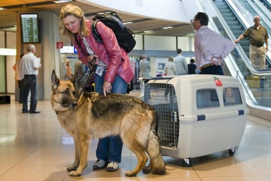 Как перевозят крупных собак в самолёте