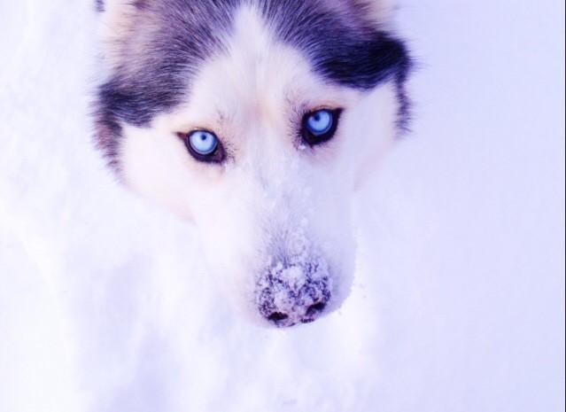 эти хаски... эти голубые глазки...