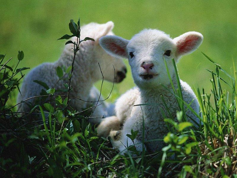 невинная овечка
