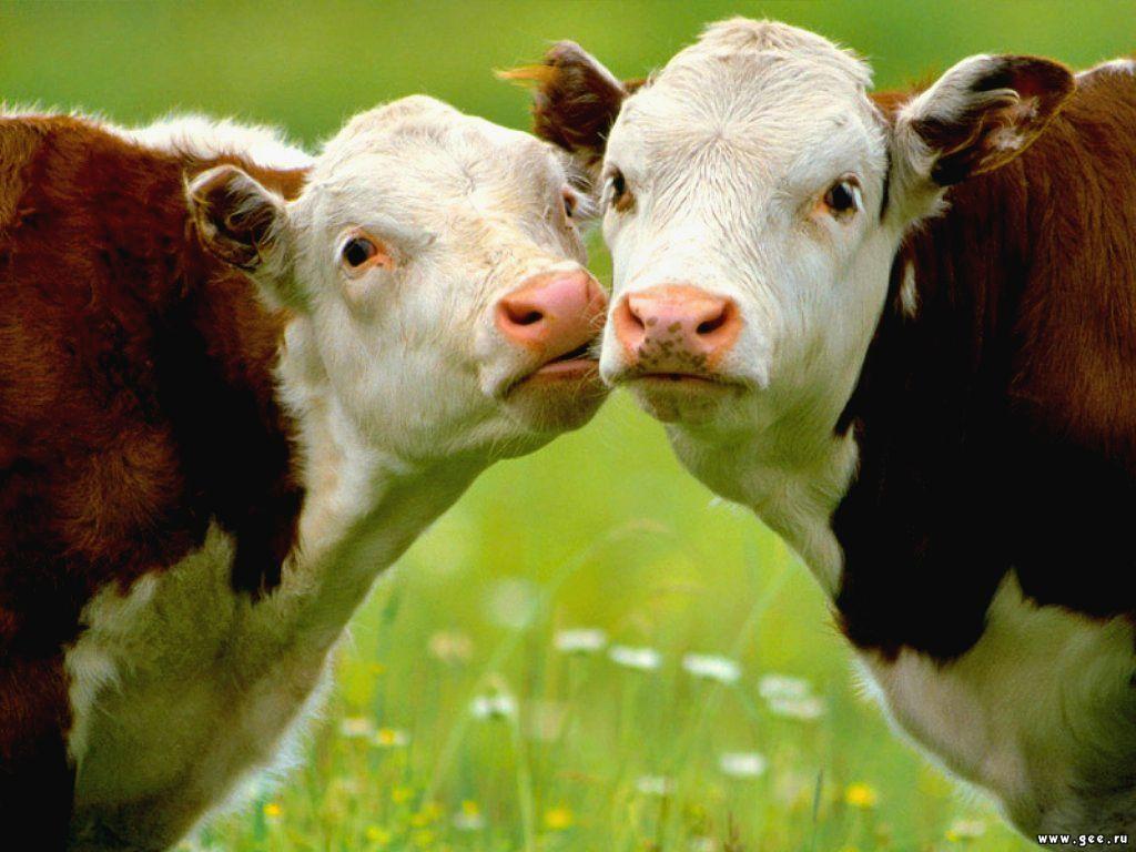 скоты