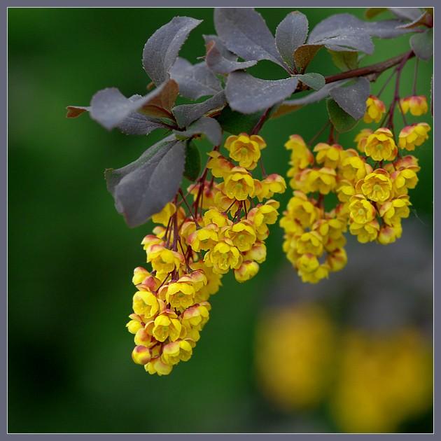 Желтая кипень