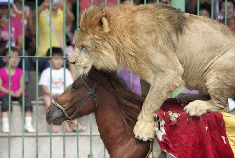 Лев скачет верхом на лошади