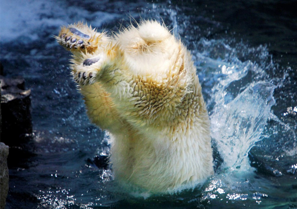 Рейко, самка полярного медведя, ныряет в воду в зоопарке Ueno в Токио, Япония, воскресенье, 26 июля 2009 (AP Photo/Itsuo Inouye)
