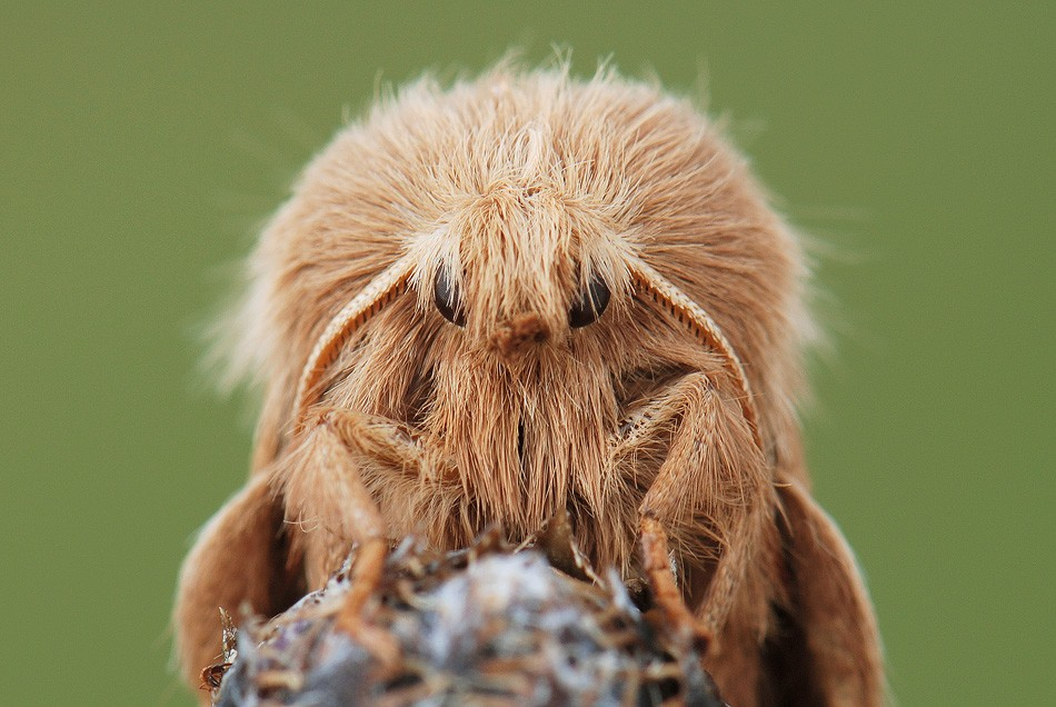 бабочка Malacosoma castrensis