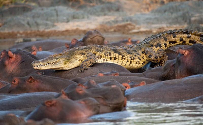 крокодил и закус