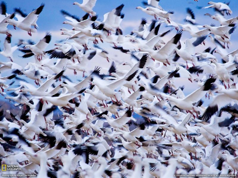 Белые гуси, Нью-Мексико