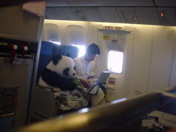 панда авиапасажир
