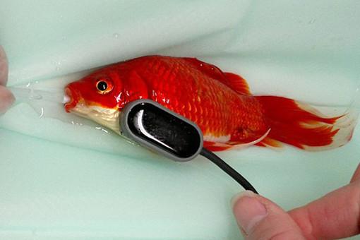 goldfish-pic510-510x340-19273