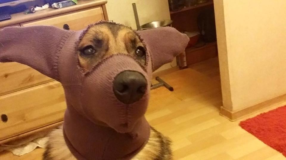 Как сшить шапку для собак