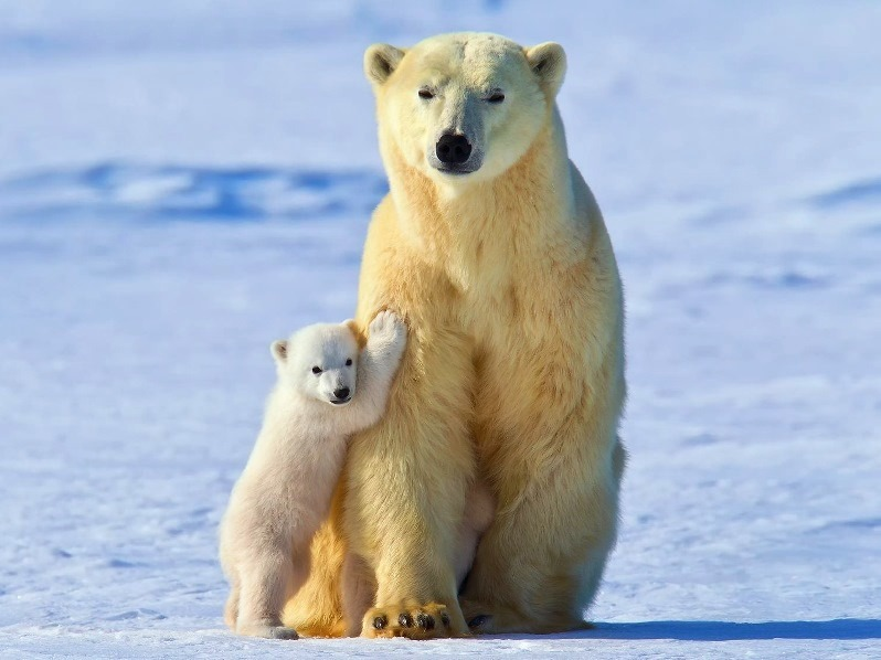белый медведь и мишка