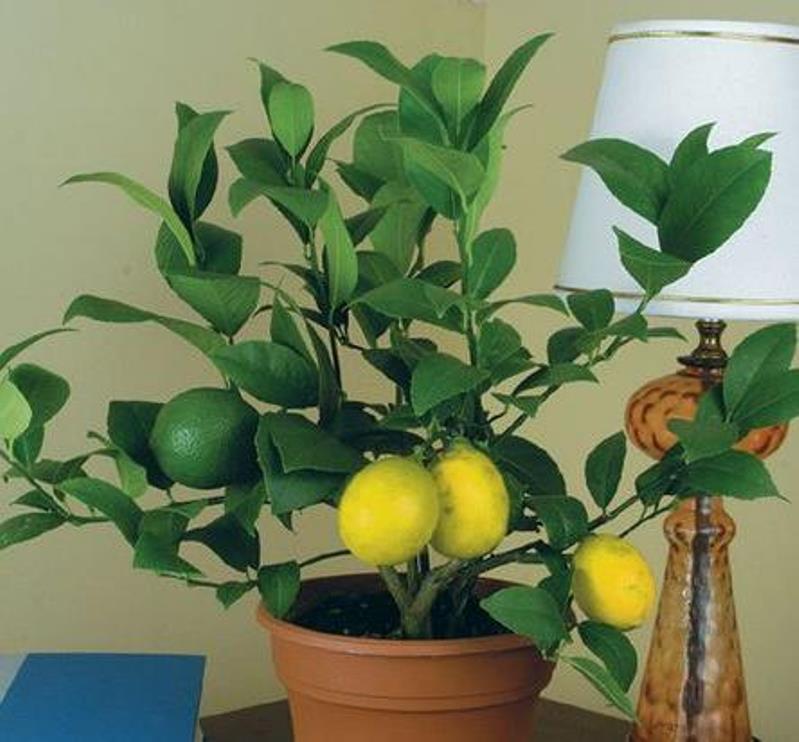 лимон 22